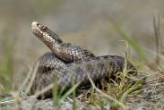 Первая помощь при укусе ядовитой змеи